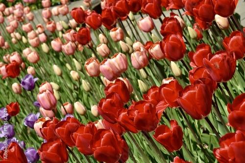Fotobehang Tulpen Bed of Tulips