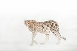 Cheetah in the Dust - 174577501