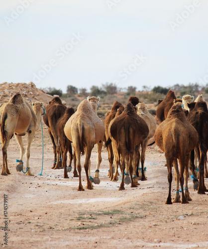 Fotobehang Kameel Tunisian Camel, desert best animal