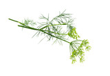 Dill bunch isolated .  Dill herb leaves. Flowering plant dill. - 174585141