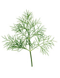 Branch of fresh green dill herb leaves isolated. - 174585194