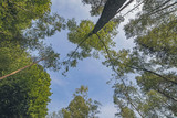 Tree with green leaves in deciduous forest with blue sky. Seen from below. - 174607372