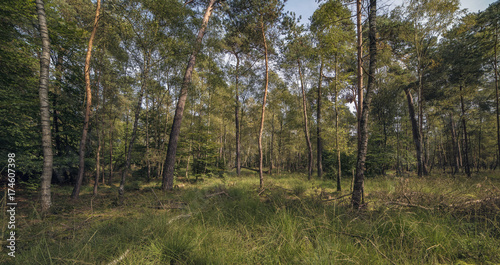 Birch and pine trees in forest under blue sky. Panorama shot.