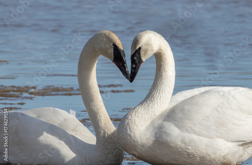Fotobehang Zwaan Trumpeter Swan Pair