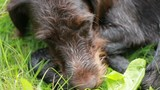 dog head close-up. Hunting dog brown color, with wet hair. - 174666336