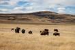 Herd of Bison in Southern Alberta Under Blue Sky