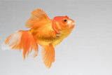 Goldfish isolate on a gray background - 174668189