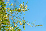 Acacia flowers and pods - 174668916