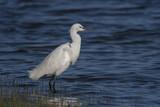 Aigrette garzette (Egretta garzetta - Little Egret) à la pêche - 174674538