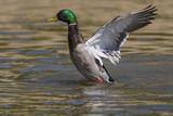 Canard colvert au bain - Anas platyrhynchos - Mallard - 174674585