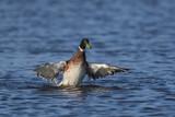 Canard colvert (Anas platyrhynchos - Mallard) en train de battre des ailes. - 174674590