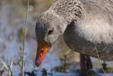Oie cendrée - Anser anser - Greylag Goose - 174674928