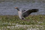 Oie cendrée - Anser anser - Greylag Goose - 174674947