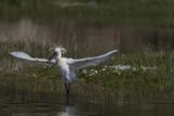 Spatule blanche - Platalea leucorodia - Eurasian Spoonbill - 174675596