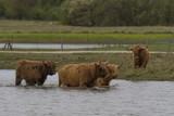 Vaches Highland Cattle (écossaises) - 174675769