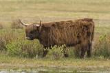 Vaches Highland Cattle (écossaises) - 174675781