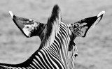 Close up of a  Zebra in black and white