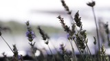 Detail of young lavender - 174697160