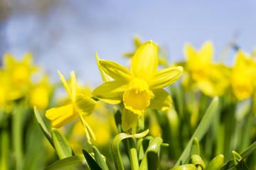 Nahaufnahme von wunderschönen gelben Osterglocken