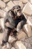 Chimpanzee - 174699520