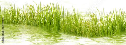 Deurstickers Gras herbes aquatiques
