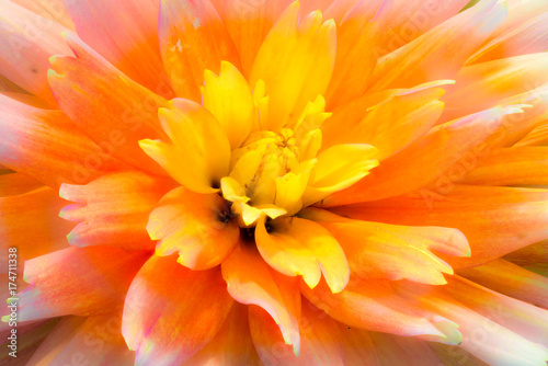 Color outdoor macro portrait of a single isolated flowering yellow orange aprico Poster