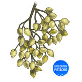Hand drawn branch of pistachio tree. - 174713388