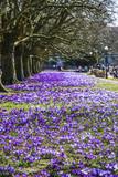 Beautiful color crocuses blooming in spring park in Szczecin - 174713959
