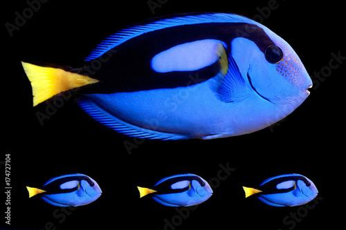 Blue Tang (paracanthurus hepatus) Poster