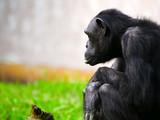 Chimpanzé - 174734197