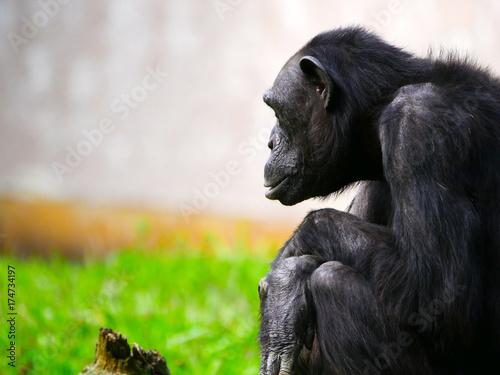 Fotobehang Aap Chimpanzé