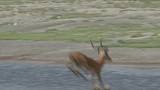 MALE IMPALA JUMPS INTO WATER - 174748337