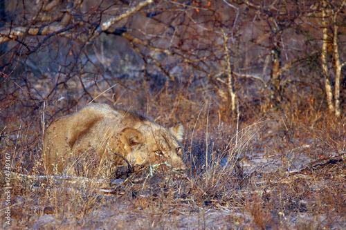 Fotobehang Lion African Lion
