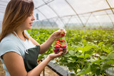 Woman holding a juicy bitten strawberry into the camera,strawberry in arm. Woman holding strawberry in hands in greenhouse,Female hand holding strawberry on blurred background,strawberry crop concept - 174750178