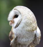 Barn Owl Raptor Bird - 174768988