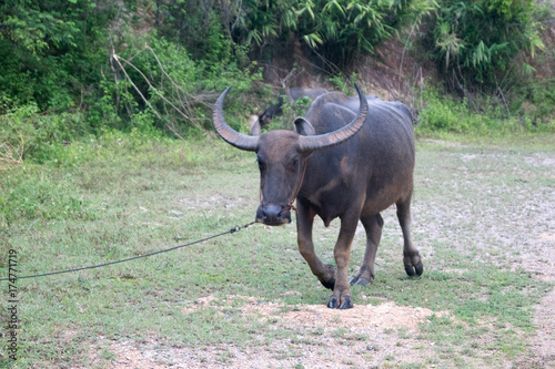 Fotobehang Olijf water buffalo in Doi Saket