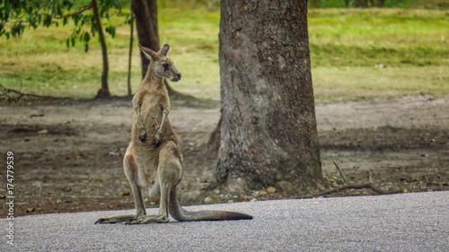 Aluminium Kangoeroe Hanging with kangaroos in Morisset Park, Australia