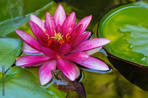 Fotobehang Kikker Pacific Tree Frog by Water Lily Flower