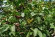 Fruchtstand des Flieders