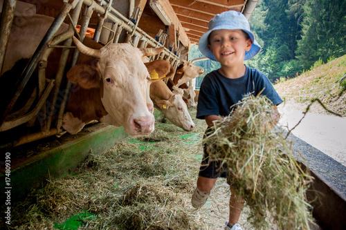 Leinwandbild Motiv Un bambino con cappellino si occupa delle vacche giocando con loro e portandogli il fieno nelle mangiatoie