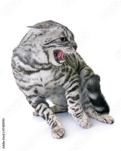 Fotobehang Kat bengal cat angry