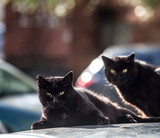 Two cats are heated on the roof of the car - 174822903