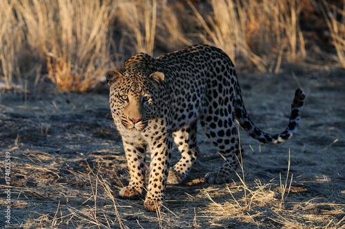 Fototapeta Leopard auf der Lauer, Namibia
