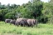 Quadro Kaudulla Elephants 11