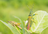 Beautiful Painted Grasshopers are non edible to birds as they feed on a poisounous plant - 174829106