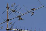 Rauchschwalben auf einer Antenne - 174839735