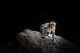 Monkey macaque sitting on the rock in the cave - 174840171