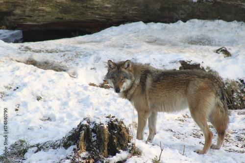 Fotobehang Wolf Wolf im Schnee