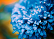 blue flower bud closeup