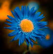 blue flower bud with yellow core